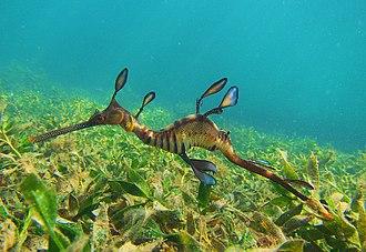 Common seadragon - Weedy Sea Dragon