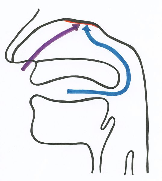 File:Weg der orthonasalen und retronasalen Wahrnehmung.jpg
