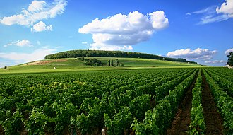 French wine - Vineyard in Côte de Beaune, Burgundy.
