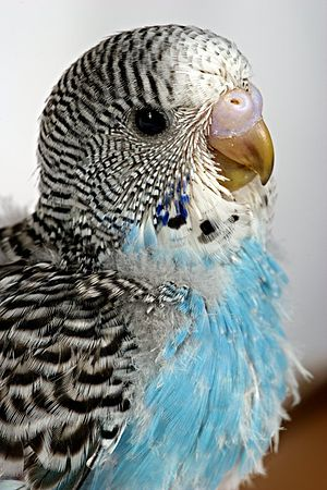 Pin feather - A budgerigar with pinfeathers from infancy