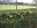 Welsh daffodils - geograph.org.uk - 350796.jpg