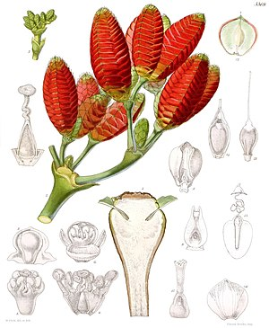 Welwitschia - Female cones, from Curtis's Botanical Magazine (1863).