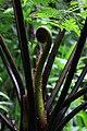 West Indian Tree Fern Fiddleheads.jpg