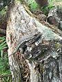 Western Fence Lizard Camouflage.jpg