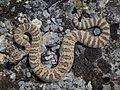 Western Rattlesnake (9161213540).jpg