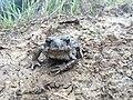 Western Toad adult (35966483044).jpg