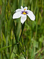 Western blue-eyed grass (Sisyrinchium bellum) (4732411628).jpg