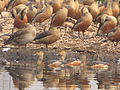 Whistling Ducks - Santragachi Lake - Howrah 2012-01-26 1525.JPG