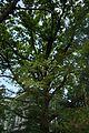 White Oak, Observatorny Provulok.jpg