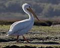White Pelican, Pelecanus erythrorhynchos in Morro Bay.jpg