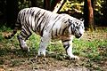 White Tiger at Nehru Zoo Park.jpg