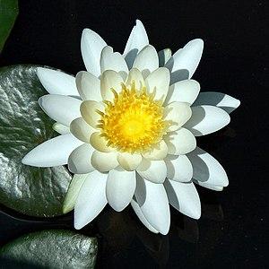 Квіти латаття білого виду