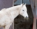 White horse at The Magnetic Hill Zoo, Moncton, New Brunswick, Ca (39752817594).jpg