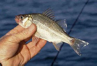 White perch - Morone americana