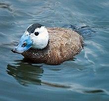 Malvasía cabeciblanca macho en época de celo, con el pico azul