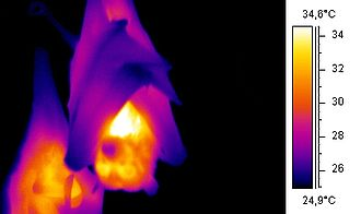Thermographic image of a bat using trapped air as insulation.
