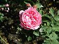 Wikimedia-bourbon-rose-louise-odier-DSCN9323.JPG