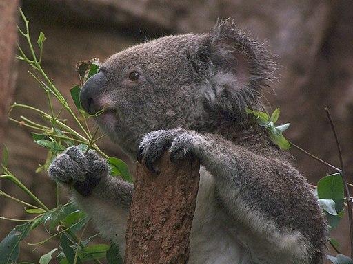 Koala at Wild Life Sydney, Australia