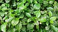 Wild Pepper (Piper sarmentosum) 1.jpg