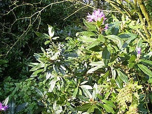 English: Wild rhododendrons in flower November...