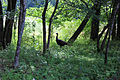 Wild turkey in Trees.jpg