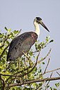Woolly-necked stork.JPG