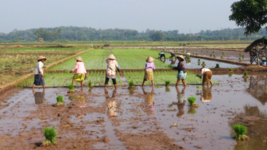 Workers in a rice paddy field