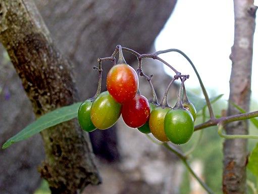 XN Solanum dulcamara 01
