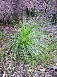 Xanthorrhoea media