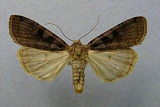 <i>Xestia ditrapezium</i> Species of moth