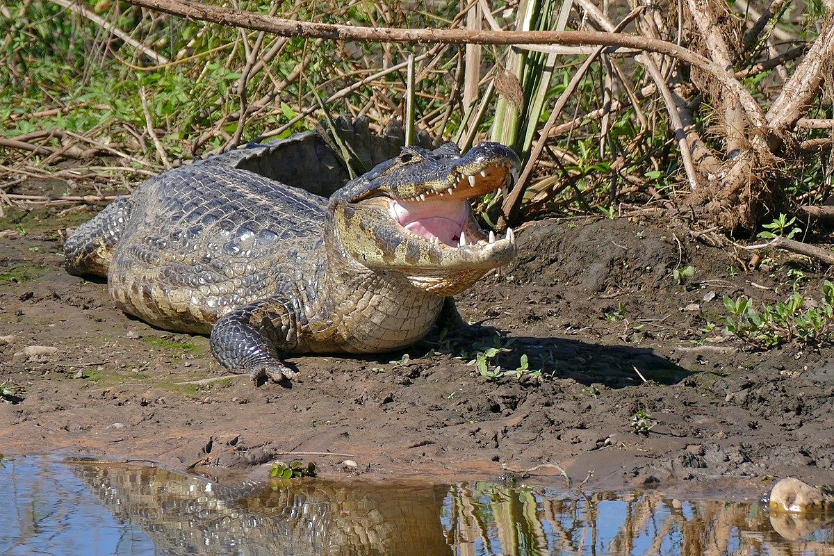 Yacare caiman - Wikipedia