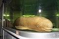 Yangtze finless porpoise specimen, 27 July 2011.jpg