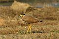Yellow-wattled Lapwing (Vanellus malabaricus). Jamnagar, Gujarat. .DPP 0066.jpg