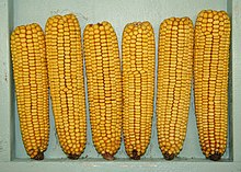 Maize breeding and seed production manual