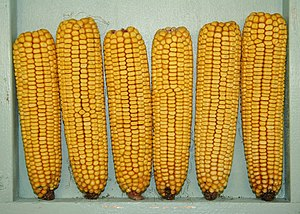 Staple food - Maize, the most produced food staple in the world