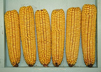 Dent corn - Dent corn is named for the dented kernels
