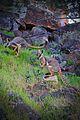 Yellow Footed Rock Wallabies.jpg