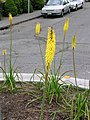Yellow Kniphofia 1.jpg