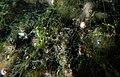 Young Aquatic fungus champignonAquatique à lamelles Moyenne-Deûle mai 2015 F.Lamiot 09.jpg
