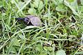 Young bog turtle (18553867560).jpg