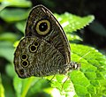 Ypthima baldus – Common Five-ring 03.JPG