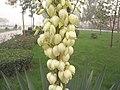YuccaRecurvifolia2.jpg