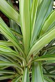 Yucca elephantipes 'Silver Star' Section 2000px.jpg