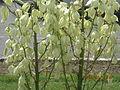 Yucca glori.JPG