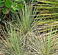 Yucca standleyi 1.jpg