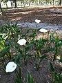Zantedeschia aethiopica in Carolina Park, Quito, Ecuador-04.jpg