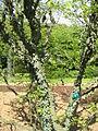 Zanthoxylum americanum02.jpg