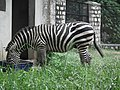 Zebra from Bannerghatta National Park 8644.JPG