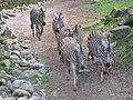 Zebras Noorder Dierenpark Emmen mei 2004.jpg