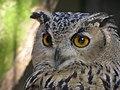 Zen owl. ;-) (35146719).jpg